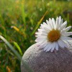 Melanies Gänseblümchen